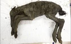 Tìm thấy xác ngựa non tuổi đời 40.000 năm vẫn còn gần như nguyên vẹn tại Siberia