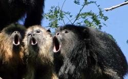 Khoa học chứng minh: Tiếng rú của khỉ càng to, tinh hoàn của nó càng nhỏ
