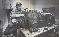 Các nhà khảo cổ làm gì khi phát hiện ra xác ướp bò rừng 36.000 năm tuổi? Họ đã... làm thử món bò hầm?