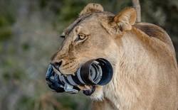 Sư tử mẹ tha camera ngàn đô của nhiếp ảnh gia về cho con chơi