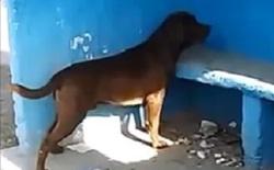 Kỳ lạ chú chó dành 3 ngày để nhìn chằm chằm vào một bức tường gây xôn xao cộng đồng mạng