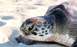 """Biến đổi khí hậu đang khiến quần thể rùa biển này rơi vào cảnh """"âm thịnh dương suy""""."""
