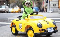 Không hề biết lái xe nhưng chú chó này sở hữu tận 4 chiếc siêu xe 'chính hãng', trong đó có cả Bentley và Ferrari