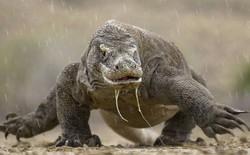 Vườn quốc gia Indonesia tăng giá vé tham quan rồng Komodo, gói sang chảnh nhất hơn 1 tỷ đồng