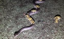 Nước Úc diệu kỳ: Chú trăn dài 3,5m phi hết tốc lực chở 10 con cóc đi tránh lũ