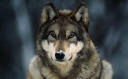Có 4 kiểu người trên đời: Bạn nên sống và làm việc như gấu, sư tử, sói hay cá heo?