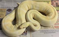 Úc: Trăn, rắn béo phì bị ép đến phòng gym dành cho bò sát để giảm cân