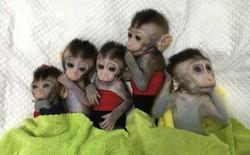 Các nhà khoa học Trung Quốc lại vừa nhân bản thành công 5 con khỉ biến đổi gen đầu tiên trên thế giới