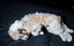 Phát hiện xác sư tử con sau 44.000 năm chôn vùi dưới băng vĩnh cửu, còn nguyên vẹn từ hình dáng tới bộ lông