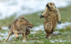 Bức ảnh tên sói dọa hú hồn chú sóc nhận Giải Nhất cuộc thi Nhiếp ảnh động vật hoang dã 2019