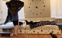 Cặp vợ chồng Mỹ chi hơn 20 triệu đồng cho chiếc giường dài gần 4 mét để có thể ngủ chung với 7 boss chó mỗi tối