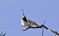 Tiếng chim gọi bạn tình lập kỷ lục ồn nhất thế giới