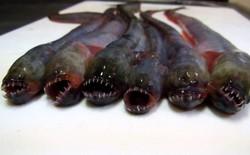 """""""Người ngoài hành tinh của biển Ariake"""" Nhật Bản, ngoại hình giống hệt quái vật ngoài không gian Xenomorph"""