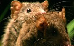 """Antechinus - loài thú có túi """"ham hố làm chuyện ấy"""" đến chết đang đứng trước nguy cơ tuyệt chủng"""