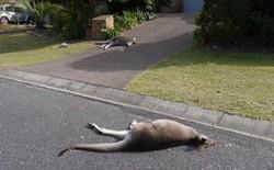 Nam thanh niên Úc đối diện với bản án 7 năm tù vì tội cố sát kangaroo địa phương
