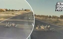Xe Tesla đang chạy 100 km/h, chế độ tự lái Autopilot vẫn phanh kịp để cứu mạng đại gia đình vịt