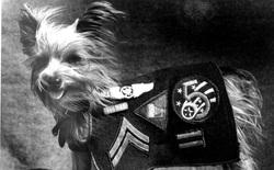 """Chú chó tí hon bỗng chốc trở thành """"siêu chiến binh"""" trong Thế chiến II"""
