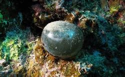 Quả bóng tròn xoe này là một loại tảo, và là một trong những tạo vật đặc biệt bậc nhất mà giới khoa học từng phát hiện ra