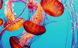 Hàng ngàn loài sinh vật tuyệt chủng vì biến đổi khí hậu, tại sao chỉ riêng sứa sinh sôi mạnh?
