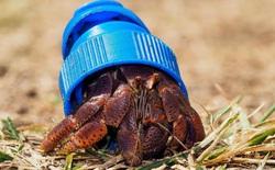 """Câu chuyện đáng buồn: Cua ẩn sĩ đang """"chết dần chết mòn"""" trong rác thải nhựa mà chúng ta đang vứt ngoài đại dương"""