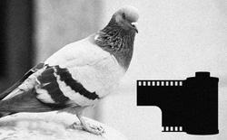 Nhà báo sáng tạo: Dùng bồ câu để đưa film ảnh về cho tòa soạn, nhằm kịp deadline bài viết