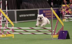 Béo ục ịch vẫn nhanh thoăn thoắt, chó bull gây bão mạng xã hội sau cuộc thi tốc độ tại Mỹ