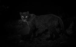 Phát hiện con báo đốm đen trăm năm có 1 tại châu Phi, trông cứ như báo thần xứ Wakanda