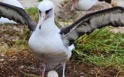 Con chim thọ nhất thế giới nay đã gần 70 tuổi nhưng vẫn sống khỏe và đẻ liên tục