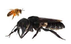 Tưởng đã tuyệt chủng cách đây 40 năm, loài ong lớn nhất thế giới bất ngờ được tìm thấy tại Indonesia