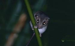 Đây là loài động vật đầu tiên tuyệt chủng vì biến đổi khí hậu do con người