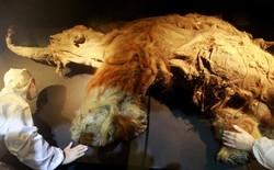 Nhật Bản tiến một bước gần hơn tới việc hồi sinh voi ma mút