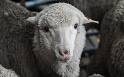 Tinh trùng đông lạnh từ 50 năm trước đã tạo ra được hàng chục con cừu khỏe mạnh