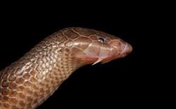 Phát hiện loại rắn độc mới không cần mở miệng vẫn có thể tấn công con mồi