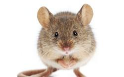 Con chuột hằng đêm giúp ông lão dọn đồ: Chẳng có chuyện cổ tích gì đâu, khoa học cả đấy