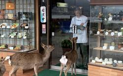 """Hiện tượng """"hươu xin đểu"""" tràn lan tại Nhật Bản vô tình giúp quảng bá du lịch nước này"""