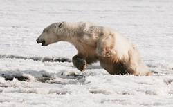 """Phát hiện con gấu Bắc Cực """"dạt nhà"""", đi hơn 700 km để xin ăn"""