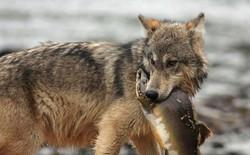 Gặp gỡ loài sói hiếm biết bơi và thích ăn hải sản