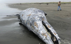 Phát hiện xác 9 con cá voi xám trôi dạt vào vùng biển California