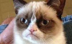 Grumpy Cat - Mèo Cáu Kỉnh đã yên nghỉ ngàn thu, thọ 7 tuổi