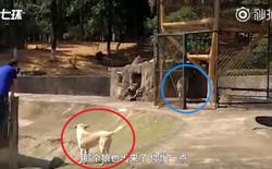 """Bị internet la ó vì nhốt chó nhà vào chuồng sói, vườn thú Trung Quốc bảo """"làm thế cho chúng có bạn"""""""
