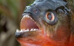 Loài người thực sự nợ cá Piranha khét tiếng Amazon một lời xin lỗi: chúng đáng sợ là do con người