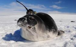 Những con hải cẩu gắn cảm biến giúp khoa học giải mã bí ẩn ở Nam Cực