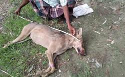 Lần đầu xuất hiện sau 70 năm, con sói xám Ấn Độ quý hiếm lại bị nông dân đánh đập đến chết
