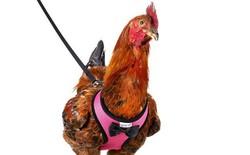 Amazon giờ xuất hiện cả áo và dây dắt gà đi dạo