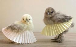 Chùm ảnh: Khi lũ gà mặc váy múa ba lê hóa ra lại đáng yêu khó cưỡng như thế này