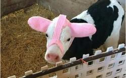 Đang yên lành, đàn gia súc bỗng dưng thành tiêu điểm mạng nhờ chiếc bờm chống rét độc đáo