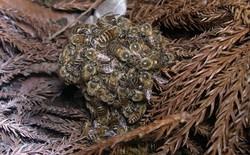 Khi bị ong bắp cày tấn công, ong mật Nhật Bản sẽ bu lấy đối thủ, đồng loạt rung lên để nướng chín kẻ địch