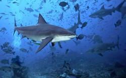 Túi nhựa, ngư cụ của con người đang trở thành mối đe dọa khủng khiếp đối với cuộc sống của loài cá mập