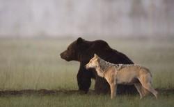 """Bộ ảnh hiếm hoi về """"tình nhiều đêm"""" của gấu đực và sói cái trong thế giới tự nhiên"""