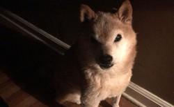 """Internet bỗng phát cuồng vì chú chó Shiba có khuôn mặt như muốn """"cà khịa"""" toàn bộ nhân loại"""